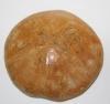 Riccio Fossile
