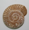 Fossile Ammonite